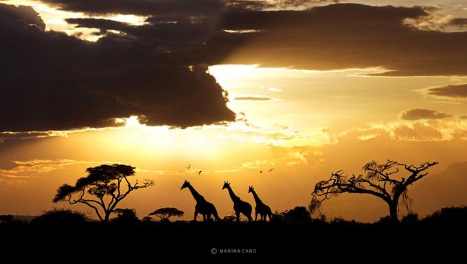 marina-cano-giraffe-sunset
