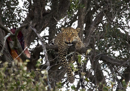 marina-cano-leopard-in-tree
