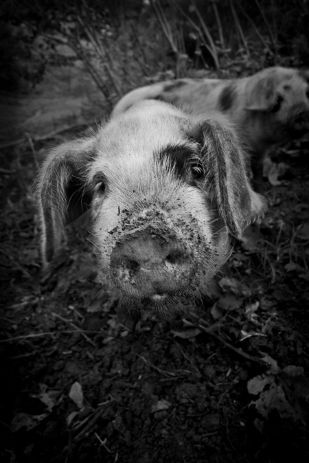 leica d-lux 5 camera review black and white pig photo