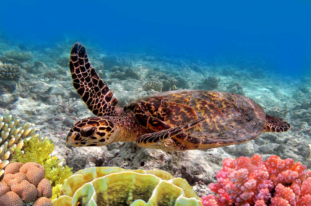 Turtle in the Maldives